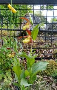 tarn FSC cypripedium calceolus rare plant pennine way