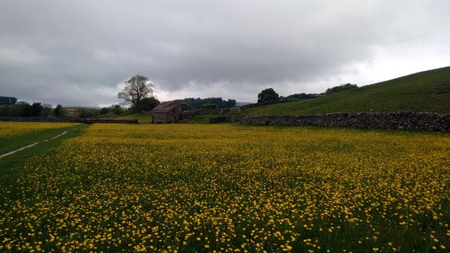 buttercups ranunculus dales conservation field farmland dry stone walls england