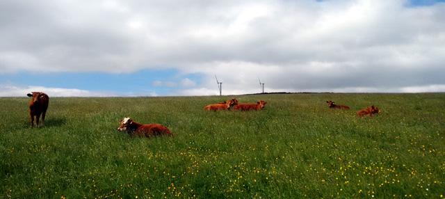 cattle wild flower meadow yorkshire pennine way england summer buttercups