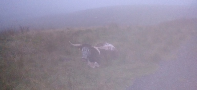 yorkshire dales longhorn cattle