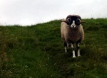 pennine-way-sheep