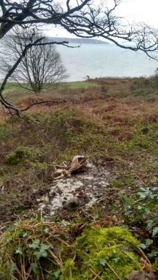 dead-sheep-wales-coast-path