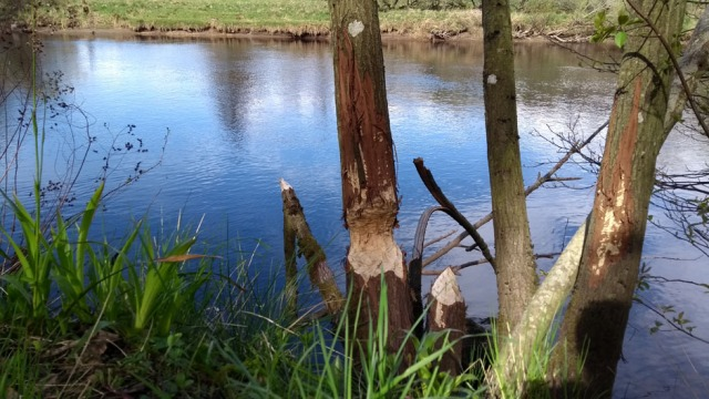 beaver-damage-trees-tay-scotland
