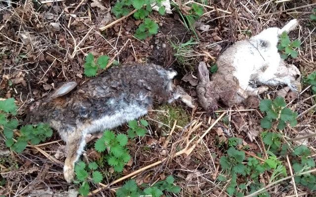 mountain-hares-dead-glen-banchor