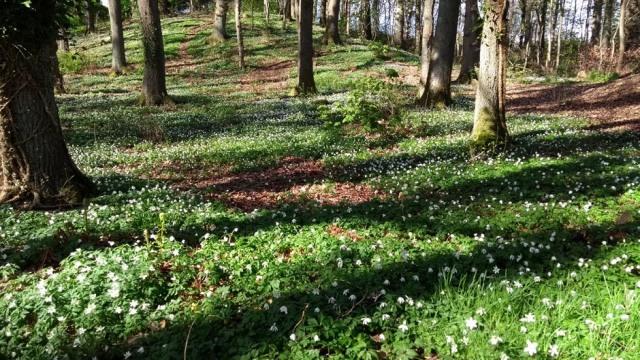pitlochry-wood-anemones-scotland