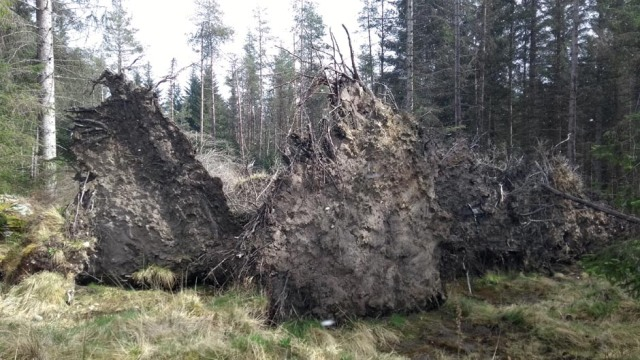 root-plates-scotland-pines