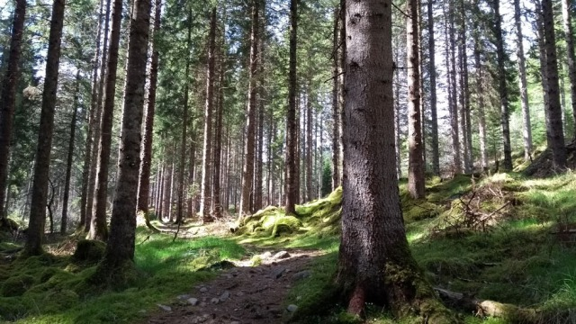 pine forest in scottish highlands