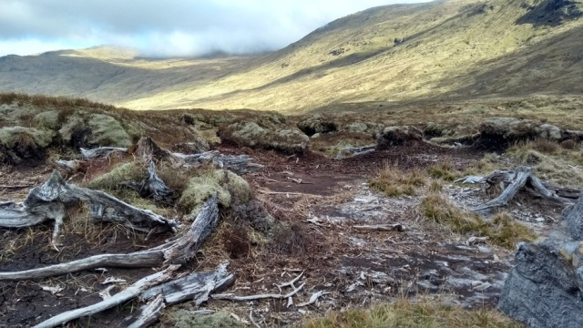 tree roots in peat bog at loch calavie scotland highlands