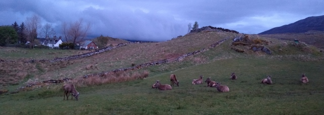 scotland highland red deer