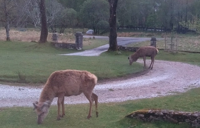 scottish highlands red deer