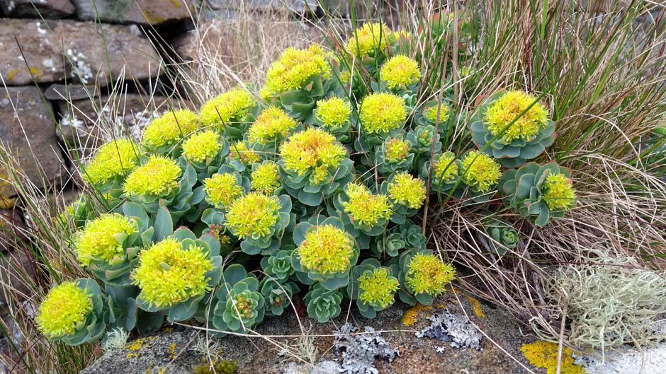 scotland highlands wild flower plant