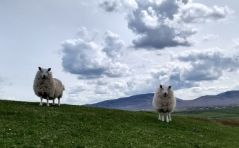 fharaid-head-sheep-scotland