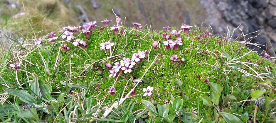 purple saxifrage faraid point durness scotland