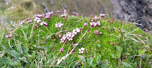purple saxifrage faraid point durness scotland