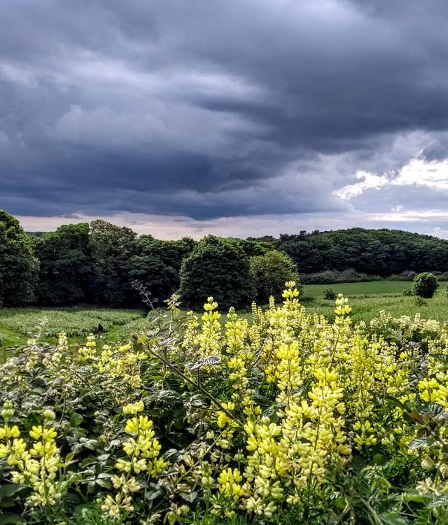 tree lupins at cromer north norfolk england