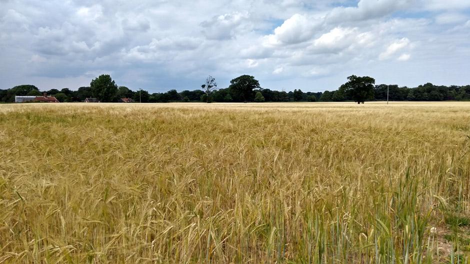 arable field of barley on weavers way norfolk england