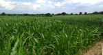 sweet corn n norfolk field on weavers way trail