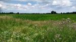 beet field in norfolk england weavers way