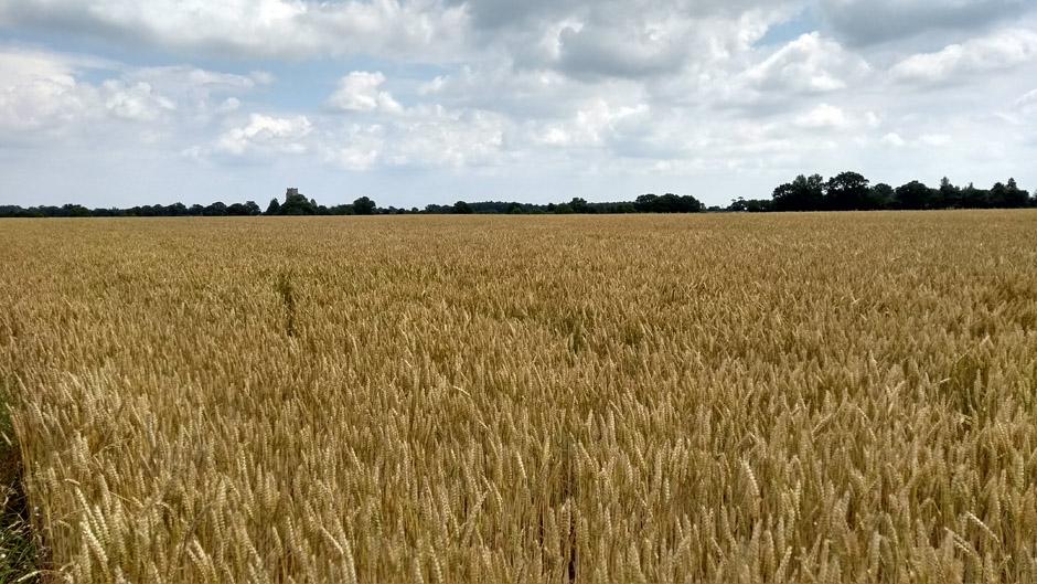 arable field in norfolk england on the weavers way