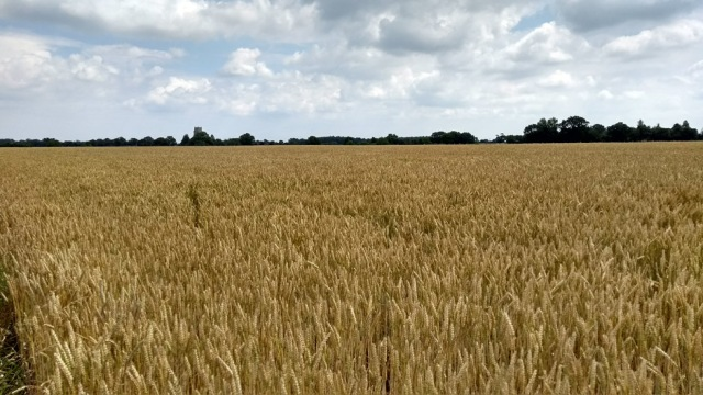 arable field in norfolk england on the weavers way