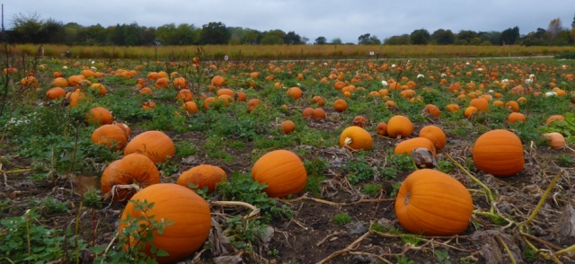 bintree farm shop norfolk england pick your own pumpkins