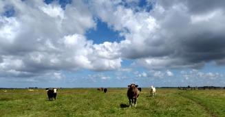 halvergate-marshes-cows-norfolk-england
