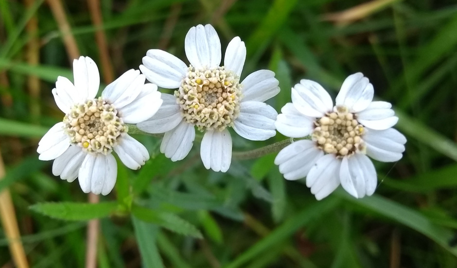 sneezewort on the pennine way