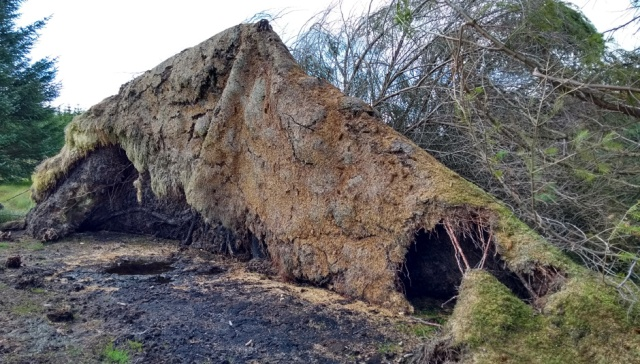 northumberland trees blown over