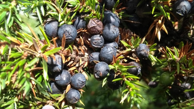 teesdale-juniper-berries-pennine-way