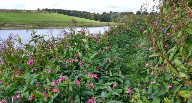 himalayan-balsam-reiver-tweed-northumberland