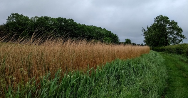 c2c-canal-reedbed