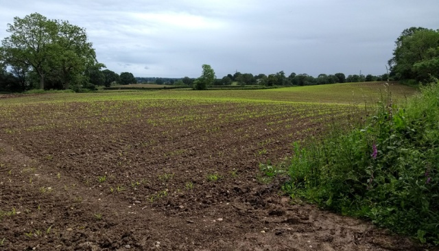 c2c-maize-field-footpath