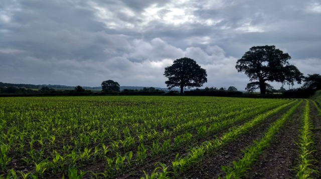 c2c-shropshire-maize-field-footpath