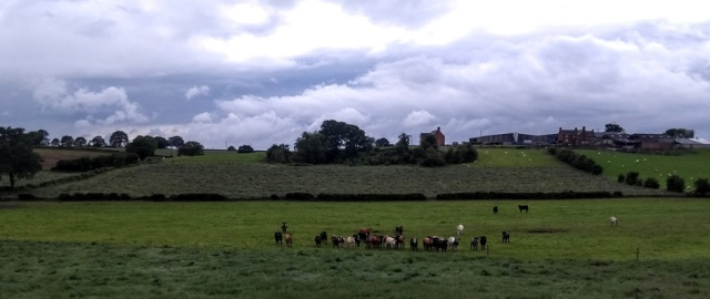 c2c-staffordshire-cattle