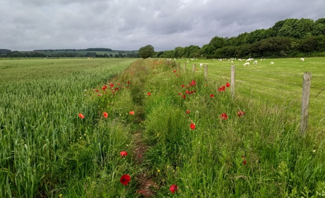 c2c-staffordshire-fields-poppies