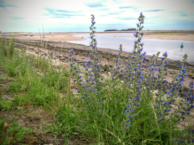 c2c-wells-norfolk-vipers-bugloss