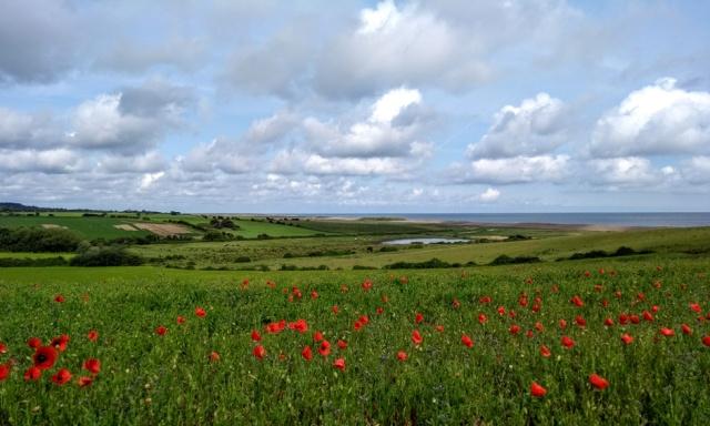 norfolk coast poppies at Kelling